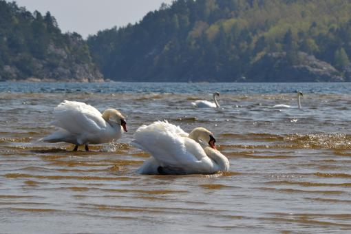 Swans in the sea - Free Stock Photo