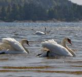 Free Photo - Swans in the sea
