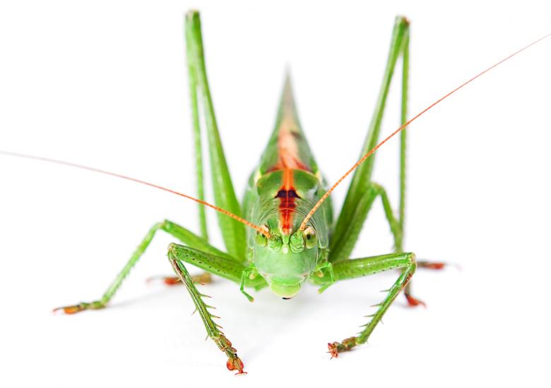 Locust Free Insect Stock Photos