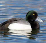 Free Photo - Greater Scaup