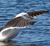 Free Photo - Black-back Gull