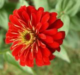 Free Photo - Red Beautiful Flower
