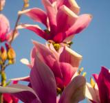 Free Photo - Magnolia flowers