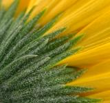 Free Photo - Yellow Daisy Macro - HDR