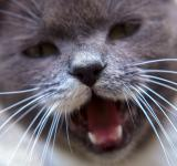 Free Photo - Roaring cat
