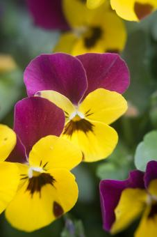 Yellow and purple flowers - Free Stock Photo
