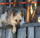 Free Photo - Dog on fence