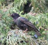 Free Photo - Starling In A Tree