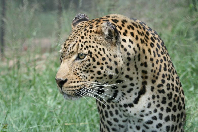 Free Stock Photo of Leopard Created by Mitch Mitchell