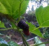Free Photo - A Half Ripped Mulberry