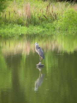 Great Blue Heron - Free Stock Photo