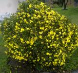 Free Photo - Yellow Bush