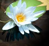 Free Photo - White lily floating