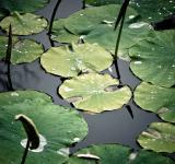 Free Photo - Waterlily pond