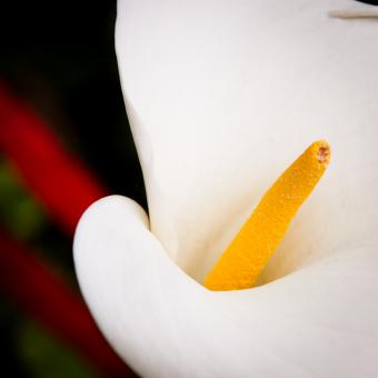 White lily flower - Free Stock Photo