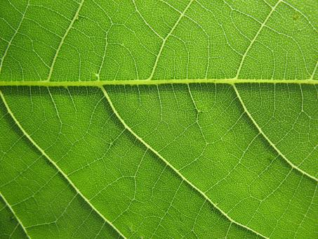 Green Leaf Texture - Free Stock Photo