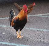 Free Photo - Wild Hawaiian Chickens