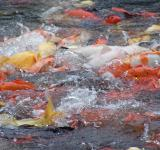 Free Photo - Koi frenzy