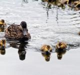 Free Photo - Baby Mallard Ducks