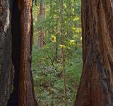 Free Photo - Window to Muir Woods - HDR