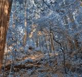 Free Photo - Muir Woods Scenery - Winter Blue HDR