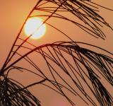 Free Photo - Grassy Plant  Sunset Silhouette