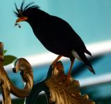 Free Photo - Black Crested Bird