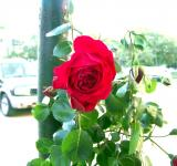 Free Photo - Red rose near a parking lot