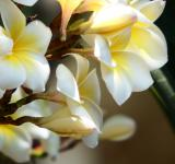 Free Photo - White Plumaria Flowers