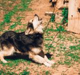 Free Photo - Howling Dog
