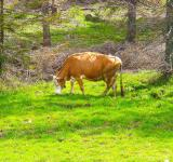 Free Photo -  Cow in the forest