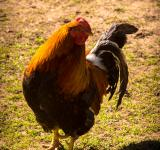 Free Photo - Chicken