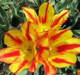 Free Photo - Yellow and red tulips