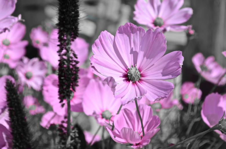 Free Stock Photo of Pink Flowers in Black & White Garden Created by Chance Buell