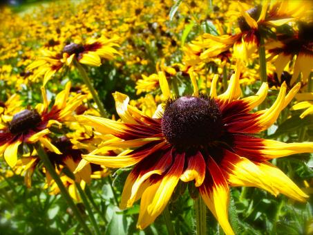 Yellow Sunflower Patch - Free Stock Photo