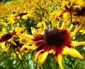 Free Photo - Yellow Sunflower Patch