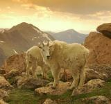 Free Photo - Mountain Goats Frolicking at Mountain Su