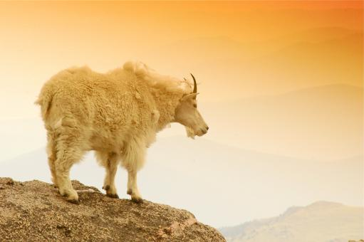 Mountain Goat on a Mountain Edge - Free Stock Photo