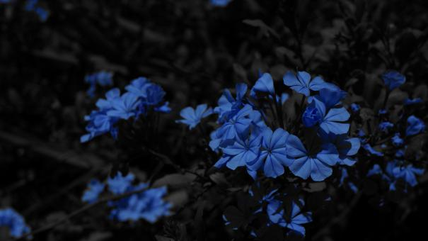 Blue Flowers - Free Stock Photo