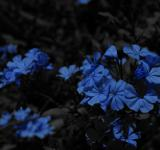 Free Photo - Blue Flowers