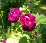 Free Photo - Old Fashion Roses