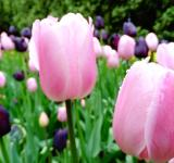 Free Photo - Pink tulips