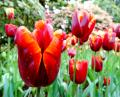 Free Photo - Fiery red tulips