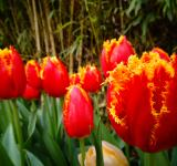 Free Photo - Tulips on fire