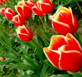 Free Photo - Red and yellow tulips