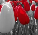 Free Photo - White and red tulips