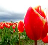 Free Photo - Red Tulips