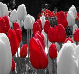 Free Photo - Red white tulips