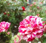 Free Photo - Clown Roses