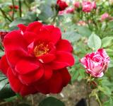 Free Photo - Red and Pink Roses